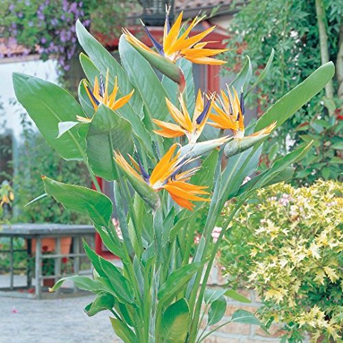 9EzTropical - Bird of Paradise (Strelitzia Reginae) - 1 Plants - 1 to 2 Feet Tall - Ship in 1 Gal Pot