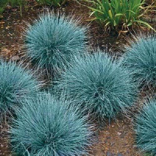 100 Blue Fescue Fesnea Glauca Ornamental Grass Seeds