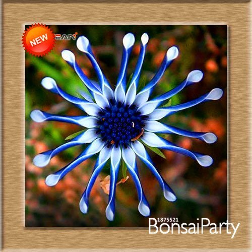 Big Promotion!5 Color Available Osteospermum Seeds Potted Flowering Plants Blue Daisy Flower Seeds,50 Seed/Pack,#FPP5IL