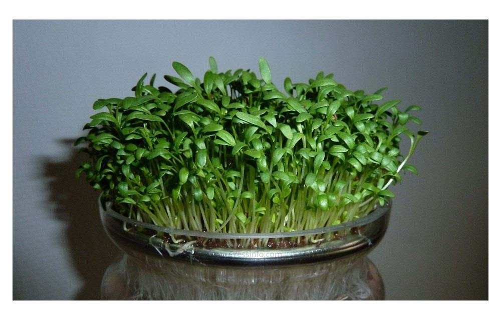 Organic CRESS Curled/Common - 40GM - Approx 16,000 Seeds