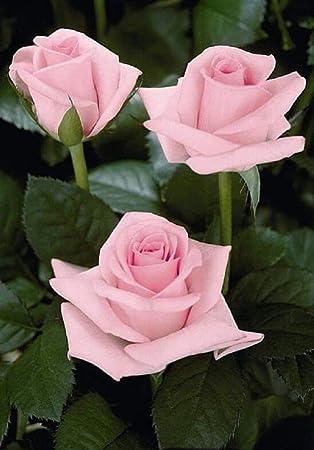 Amazon 10 Light Pink Rose Seeds Flower Bush Perennial Shrub