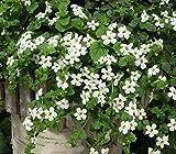 Outsidepride Bacopa Snowtopia White Sutera cordata Flower Seed - 20 Seeds