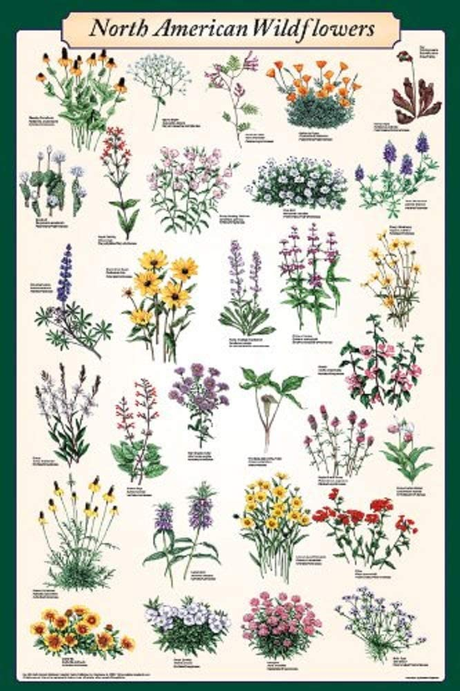 Picture Peddler North American Wildflowers Laminated Educational Science Reference Chart Print Poster 24x36