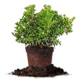 buy DWARF BURFORD HOLLY - Size: 1 Gallon, live plant, includes special blend fertilizer & planting guide now, new 2018-2017 bestseller, review and Photo, best price $38.83