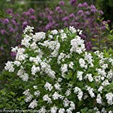 "Snow Day Blizzard Pearl Bush - 4"" Pot - Exochorda - Proven Winners"