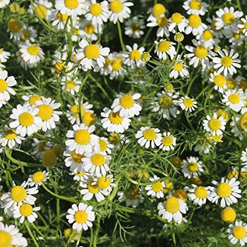 (Roman Chamomile 500 Seeds Anthemis Nobilis Groundcover Edible Landscaping Lawn)