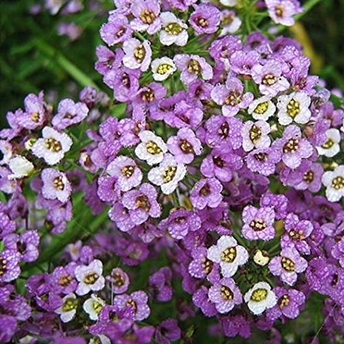 David's Garden Seeds Flower Alyssum Royal Carpet 1238 (Multi) 500 Non-GMO, Heirloom Seeds