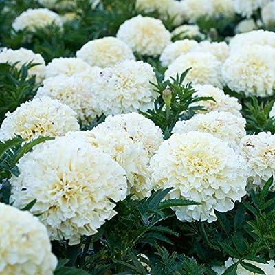 2018 Hot Sale Davitu 100PCS White Marigold French Vanilla Hybrid Flowers Seeds