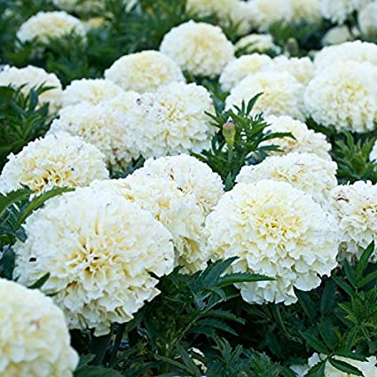 067da7c84db Amazon.com : 2018 Hot Sale Davitu 100PCS White Marigold French ...
