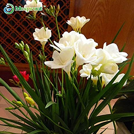 Amazon.com : Brand New! 50PCS White Freesia Bulbs Indoor Potted ...