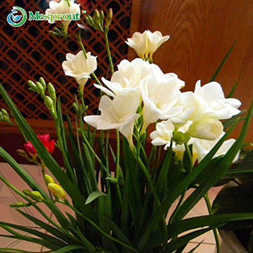Brand New! 50PCS White Freesia Bulbs Indoor Potted Flowers Orchids, Garden Terrace Perennial Flower Seeds of (Orchid Bulb)