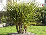 2 Cordyline Australis/Cabbage Palm Trees, 30-40cm Tall in a 2L Pots 3fatpigs