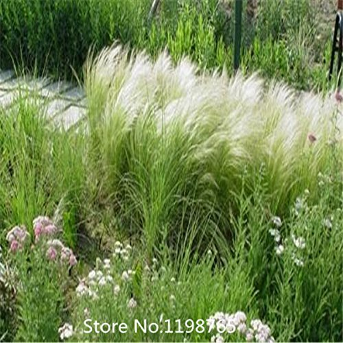 Mexican Feather Grass - 2015 Hot 100 seeds / pack , Mexican Feather Grass Seeds - Stipa tenuissima - Also called Silky Thread Grass or Mexican Needle Gr