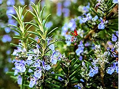 Rosemary Herb 160 Seeds for 99c Shipping is FREE.. BUY 2, we ship THREE! #148