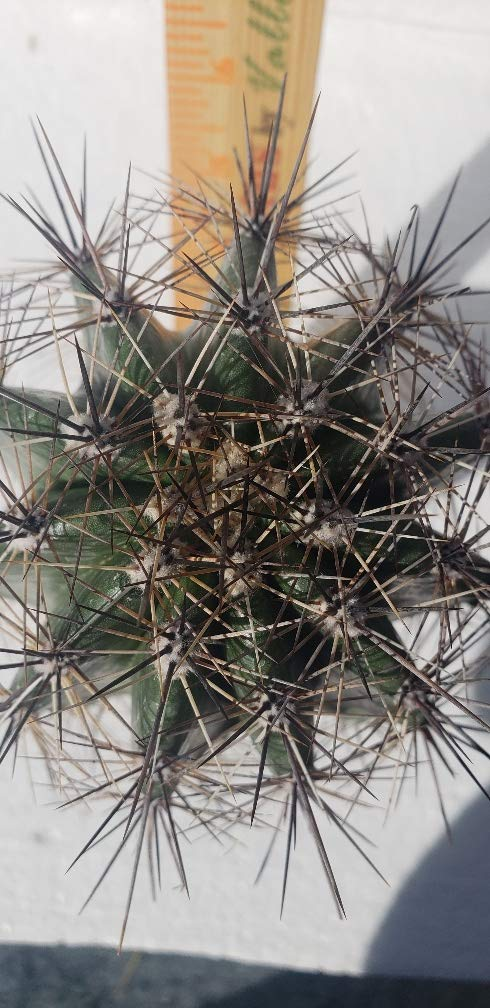 Live Saguaro Cactus Medium - Carnegiea Gigantea by Living Cactus by Valley Verde (Image #2)