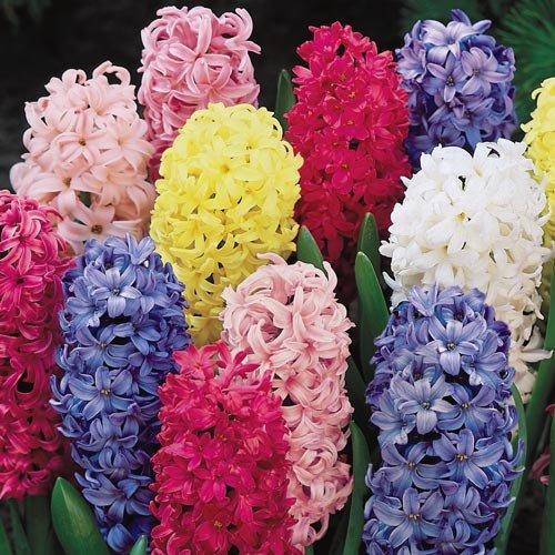 - Giant Hyacinth Mixture - 12 Bulbs
