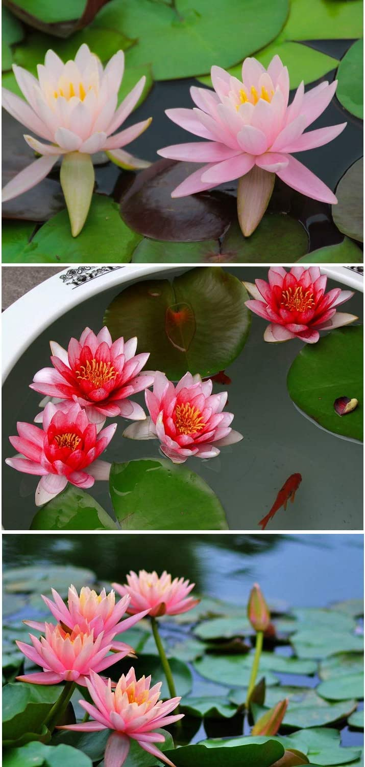 Bonsai Bowl Lotus Seeds Ornamental Courtyard Finient Viable Mixed Colors Aquatic Water Features Seeds Home Garden Yard Farm Pond Decor 30pcs Water Lily Flower Plant Seeds