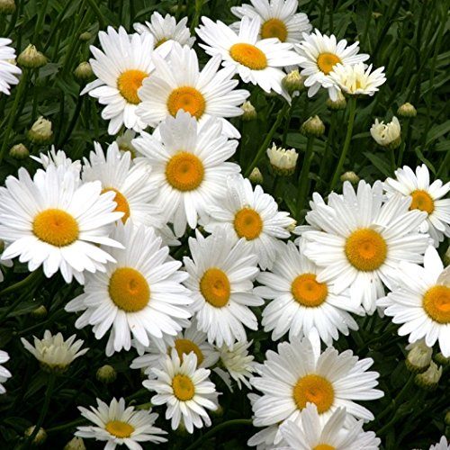 David's Garden Seeds Flower Daisy Shasta Alaska SL8723 (White) 500 Non-GMO, Heirloom -