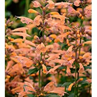 Agastache Mango Tango Potted Plant, Great for any Garden, /Starter Plant, Nice as a Specimen Plant