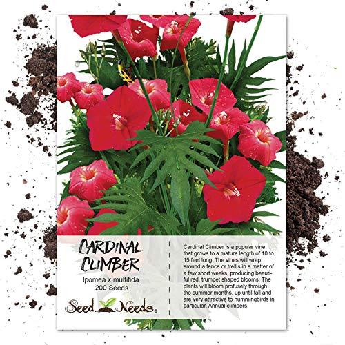 Seed Needs, Cardinal Climber Vine (Ipomea x multifida) 200 -