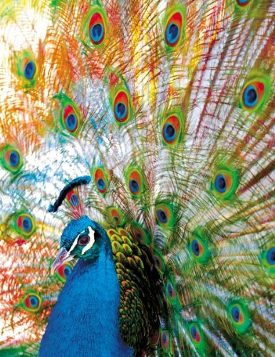 Proud Peacock 500 Piece Jigsaw Puzzle