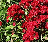 Dynamite Crape Myrtle Lagerstroemia indica 'Whit II' P.P.# 10296 - Healthy Potted Plants - 3 pack