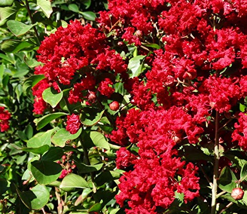 Dynamite Crape Myrtle Lagerstroemia indica 'Whit II' P.P.# 10296 - Healthy Potted Plants - 3 pack by Grower's Solution