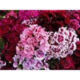 Amazon 30 chianti dianthus chinensis china pink flower seeds 500 mixed colors sweet william dianthus barbatus flower seeds mightylinksfo