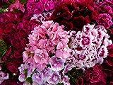 500 MIXED COLORS SWEET WILLIAM Dianthus Barbatus Flower Seeds