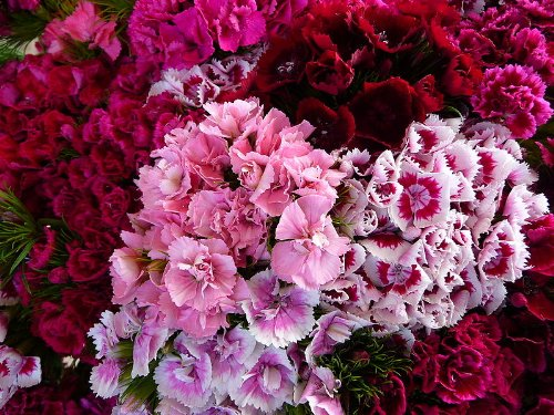 500 MIXED COLORS SWEET WILLIAM Dianthus Barbatus Flower Seeds Dianthus Barbatus