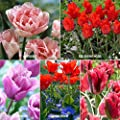 Van Zyverden Royal Horticultural Society's Award Of Garden Merit Tulip Collection Set of 25 bulbs