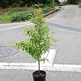 庭木:姫シャラ H:約100-120cm ヤマト便