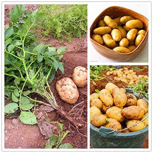 - Seed 200 Pcs/Pack China Gold Yellow-Skinned Plant Potato Bonsai Anti-Wrinkle Nutrition Green Vegetable for Home Garden Planting Gift
