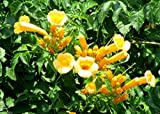Campsis radicans Seeds , Flava (Yellow Trumpet Vines ) (30)