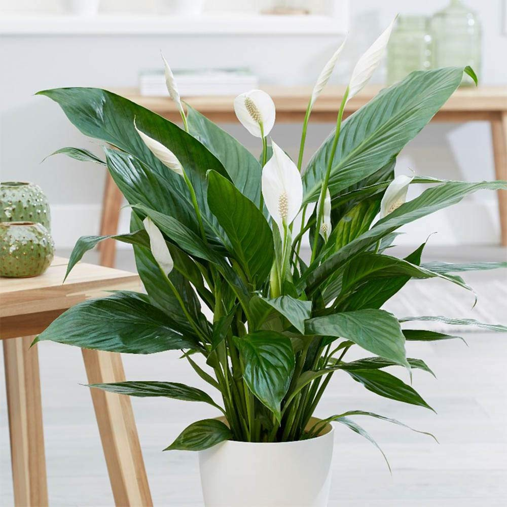 AMERICAN PLANT EXCHANGE Spathiphyllum Debbie Peace Lily Live Plant, 3 Gallon, Indoor/Outdoor Air Purifier! by AMERICAN PLANT EXCHANGE (Image #2)