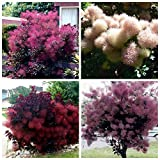hot sale Europe smoke tree seeds bonsai Cotinus adans tree for home and gargen smoke bush seeds plant balcony yard rainbow