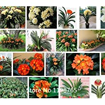 Promotion Wholesale authentic Clivia seeds flower seeds rare plants, 500pcs Novel Seed