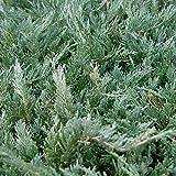 CHINESE JUNIPER Juniperus Chinensis 15 SEEDS