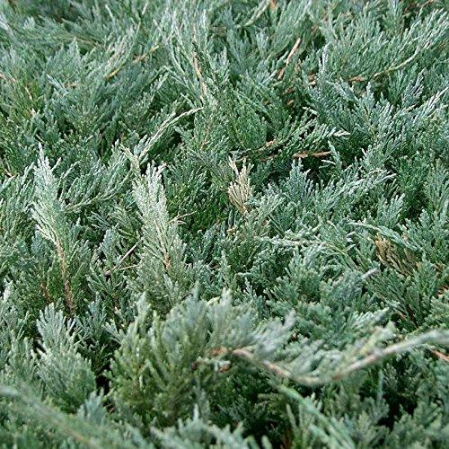 - CHINESE JUNIPER Juniperus Chinensis 15 SEEDS