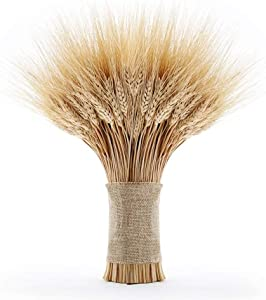 EOSAGA Golden Dried Wheat Sheaves 120 Stems Bundle Premium Autumn Arrangements Full Wholesale DIY Home Table Wedding Xmas
