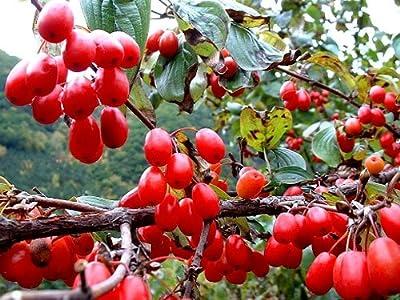 SD3007 Dogwood Tree Seeds, Maize Cornus Officinalis Tree Seeds, Fresh Live Tree Seeds, New Live Seeds (20 Seeds)