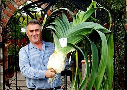 Allium tricoccum Balcon Graines Plantes en pot Bonsai vivaces Nouveau g/éant Poireau Graines 100+