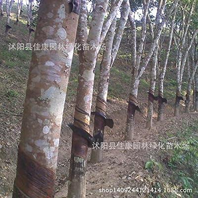 Fotcus - Tree bonsai collected authentic rubber tree Hevea bonsai bonsai of Hevea brasiliensis bonsai can be used as medicine 200g: Garden & Outdoor