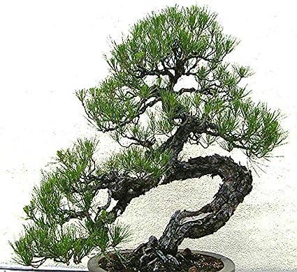 Amazon Com Big Pack Bonsai Tree Seeds Japanese Black Pine Tree 150 Seeds Pinus Thunbergiana Pine Tree Seeds Non Gmo Seeds By Myseeds Co Big Pack Japanese Black Pine Garden Outdoor
