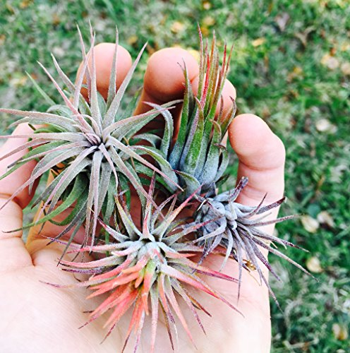 12 Pack Assorted Tillandsia Ionantha Air Plants - Wholesale - 30 Day Guarantee - Fast Shipping - Bulk Air Plants - Includes Free PDF EBook by Jody James