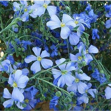 jardín Ornamental balcón,Flores Azules, Semillas de Lino, Plantas Ornamentales, Flores de jardinería-1000 cápsulas,Jardín Planta en Maceta perenne: Amazon.es: Hogar