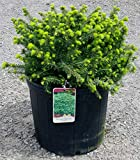 Bird's Nest Spruce - Dwarf Evergreen Shrub - 3 Gallon Pot