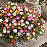 Ice Plant Mix (2000 seeds) THE Ground Cover! Livingston Daisy