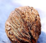Black Walnut Tree Seeds, Juglans Nigra - Northern - HARDY TO ZONE 5 - By MySeeds.Co (5 Seeds)