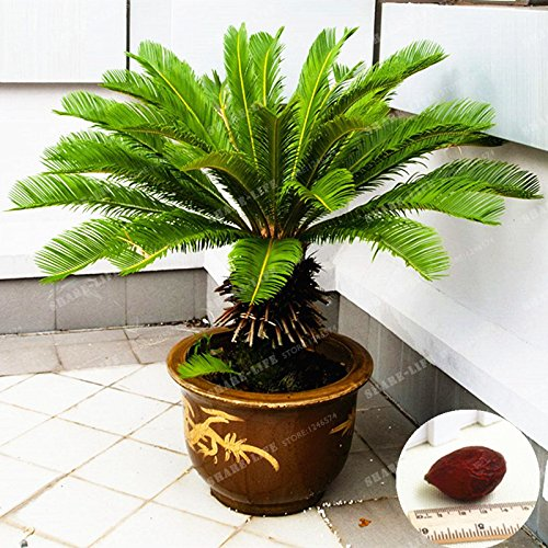 Cicadi Albero 100/% vero seme in vaso Cycas Revoluta domestica dei semi della pianta di giardino Paesaggio popolare Seed facile da coltivare 1 pc//sacchetto